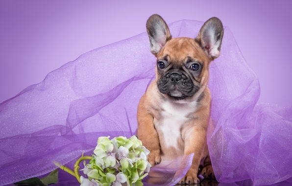Picture purple, puppy, veil, French bulldog, hydrangea
