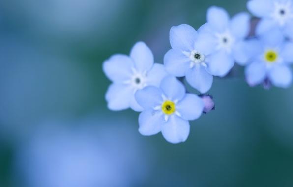 Picture macro, flowers, background, tenderness, color, petals, blur, blue, small, blue, forget-me-nots