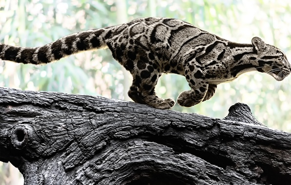 Picture nature, predator, color, log, wild cat, clouded leopard