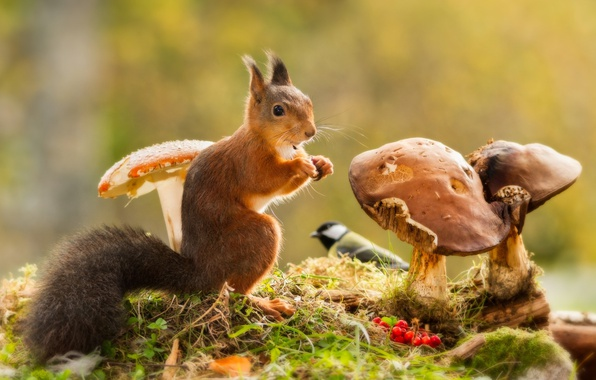 Picture grass, berries, animal, bird, mushrooms, protein, Rowan, animal, rodent, tit