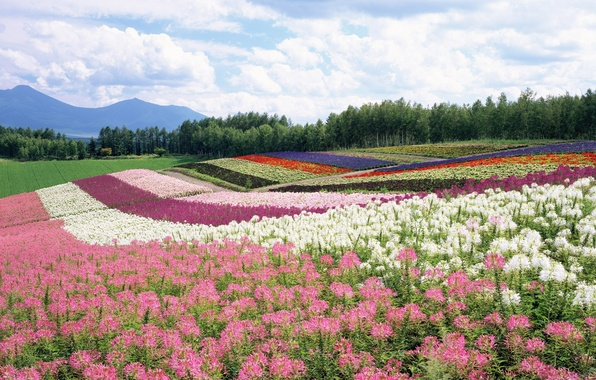 Picture field, forest, summer, the sky, clouds, flowers, mountains