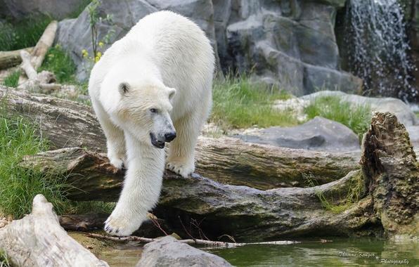 Picture predator, polar bear, zoo, polar bear
