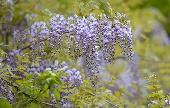 Picture tree, flowering, flowers, lilac, wisteria, Wisteria