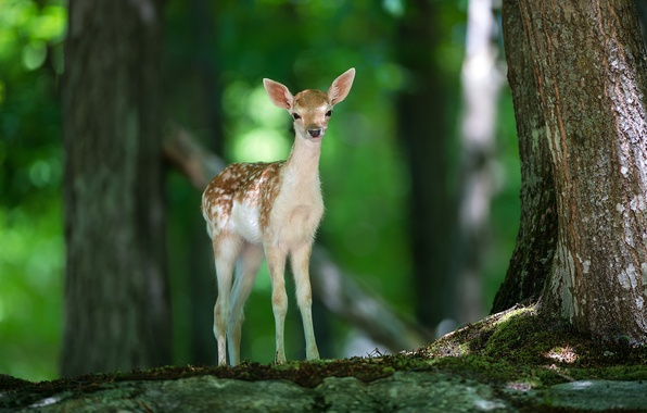 Picture forest, nature, animal, deer, Bambi, fawn