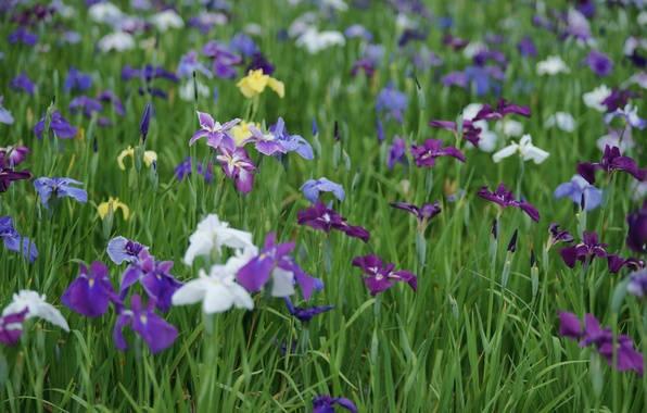 Picture summer, glade, colored, white, irises, field, lilac