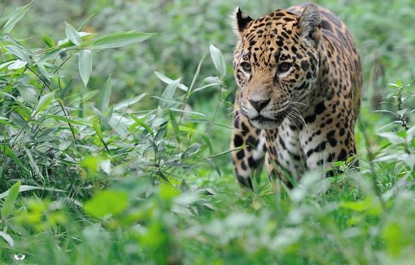 Picture face, thickets, predator, Jaguar, walk, wild cat