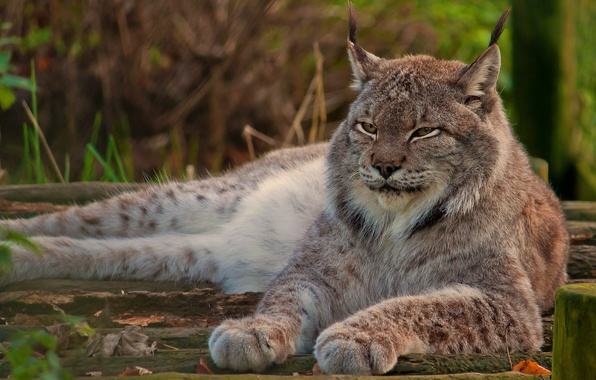 Picture look, face, stay, paws, lies, lynx, wild cat, looks, proud, canadian