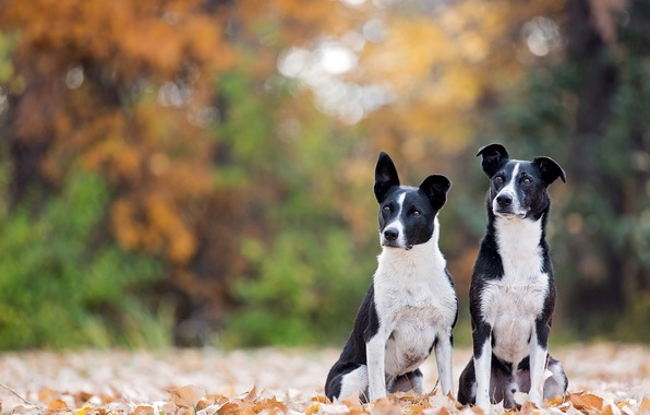 Picture autumn, leaves, bokeh, two dogs