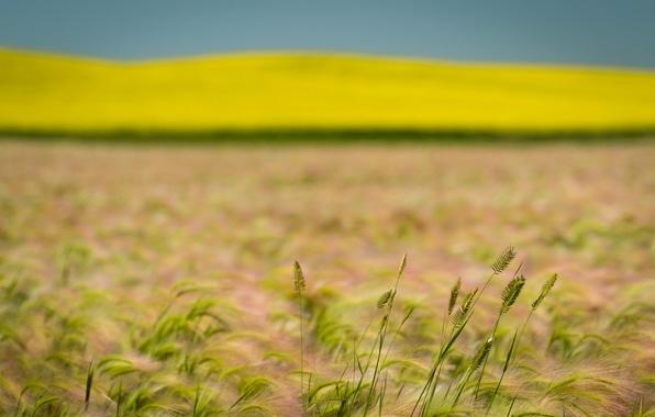 Picture wheat, field, summer, rape