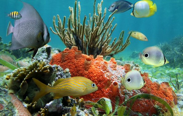 Picture fish, the ocean, underwater world, underwater, ocean, fishes, tropical, reef, coral, coral reef
