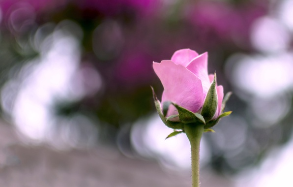 Picture flower, summer, macro, pink, rose