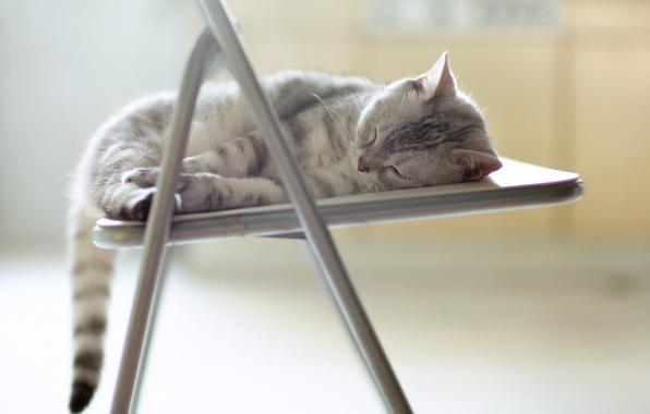 Picture cat, stay, chair