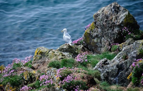 Picture sea, grass, flowers, rocks, bird, Seagull, Seagull