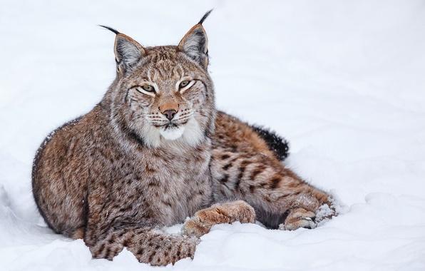 Picture winter, cat, snow, lynx