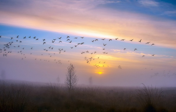 Picture autumn, the sky, sunset, birds, fog, Rosa, tree, duck, pack, the evening, after the rain, …