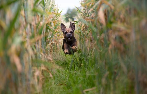 Picture field, mood, dog, corn, running, puppy, flight, The border Terrier