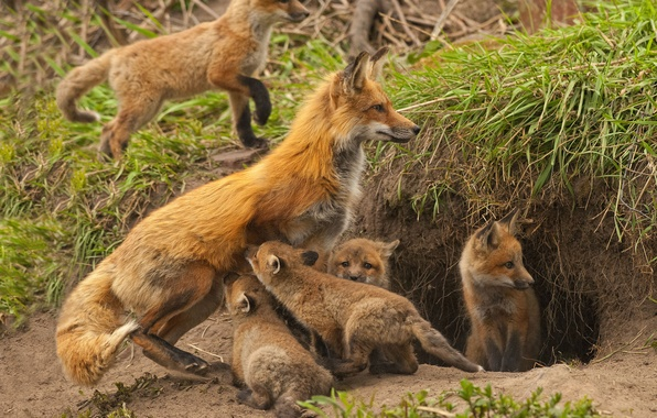 Picture Nora, Fox, kids, motherhood, cubs, cubs