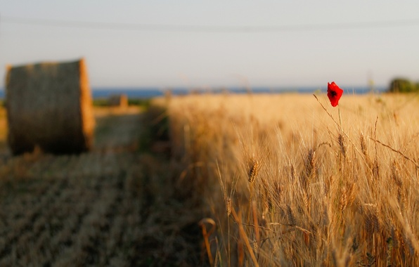 Picture wheat, field, flower, the sky, flowers, red, background, widescreen, Wallpaper, Mac, rye, spikelets, hay, track, …