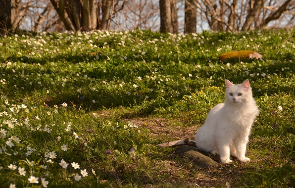 Picture cat, cat, flowers, nature, spring, anemone
