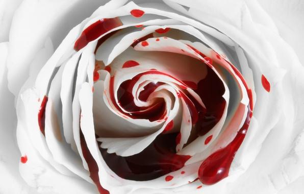 Picture flower, blood, rose, Rose, bleeding