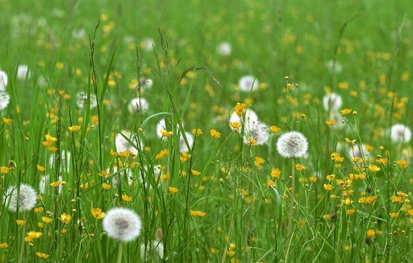 Picture field, grass, flowers, dandelions