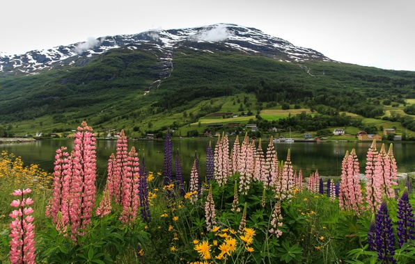 Picture flowers, mountains, shore, Norway, Bay, the fjord, Lupin, Nordfjord, Olden