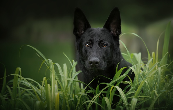 Picture grass, look, face, dog, German shepherd
