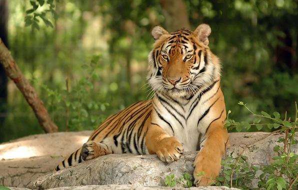 Picture cat, tiger, stone, predator