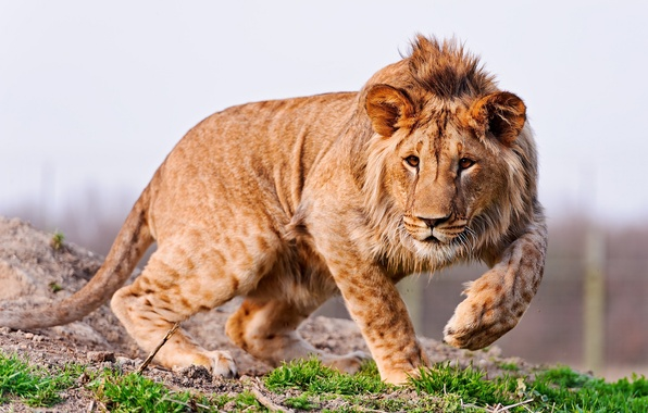 Picture grass, nature, predator, paws, mane, ears, young lion, Animal