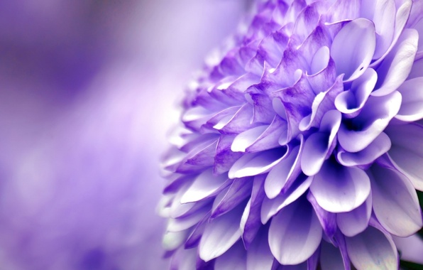 Picture flower, purple, macro, chrysanthemum