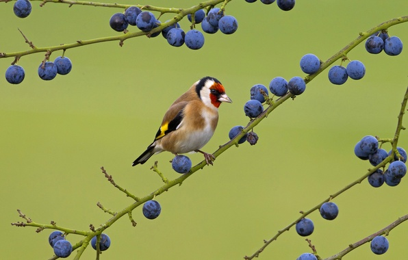 Picture nature, bird, color, branch, berry
