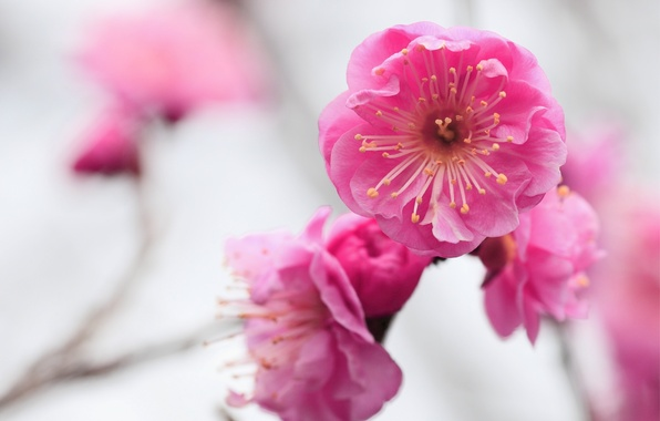 Picture macro, flowers, focus, branch, blur, pink, flowering, Apricot