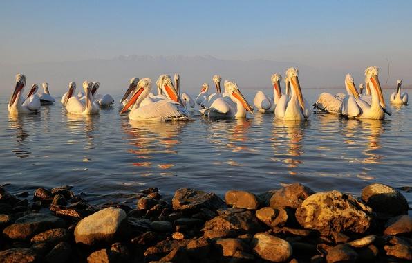 Picture water, birds, stones, beak, Pelican