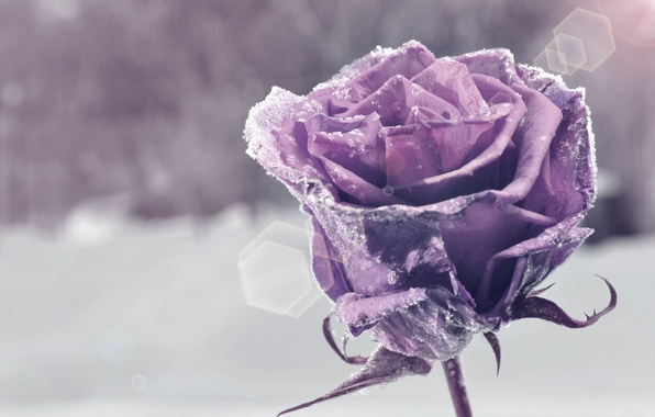 Picture flower, purple, snow, flowers, background, widescreen, Wallpaper, wallpaper, flower, widescreen, background, snow, bokeh, full screen, …