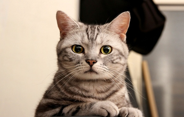 Picture cat, eyes, cat, look, grey, green, striped, looks