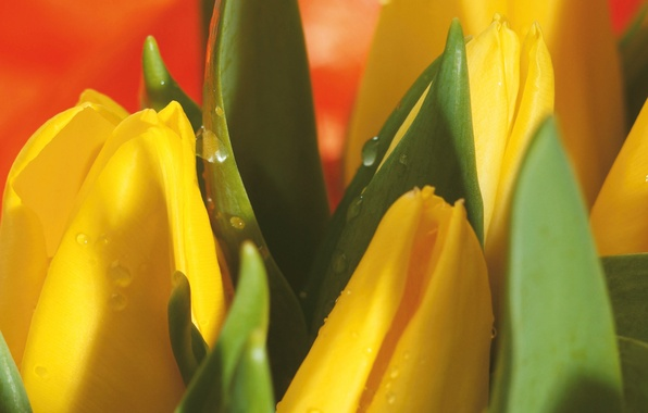 Picture drops, macro, flowers, yellow, bouquet, spring, Tulips