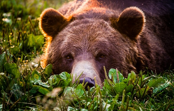 Picture look, face, bear, grizzly