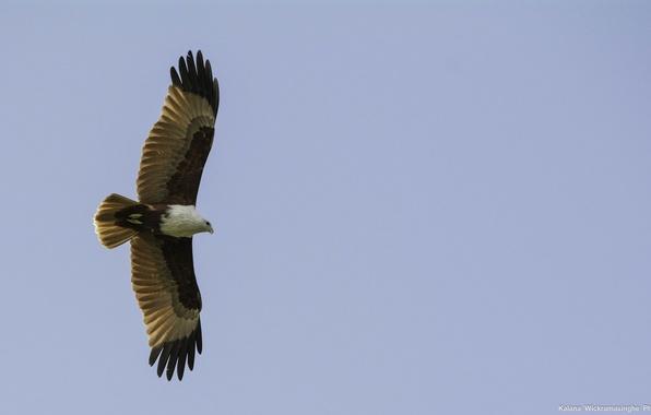Picture the sky, freedom, bird, height, wings, predator, flight, kite