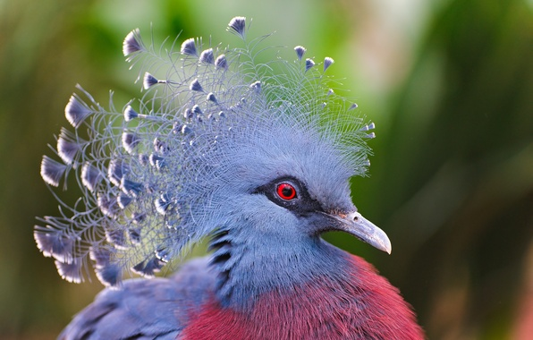 Picture bird, feathers, crowned pigeon, Victoria Crowned Pigeon
