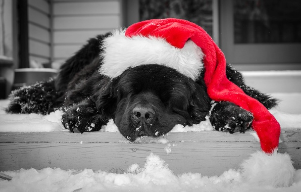 Picture winter, snow, black, hat, dog, sleeping, steps, color, red, cap, Christmas