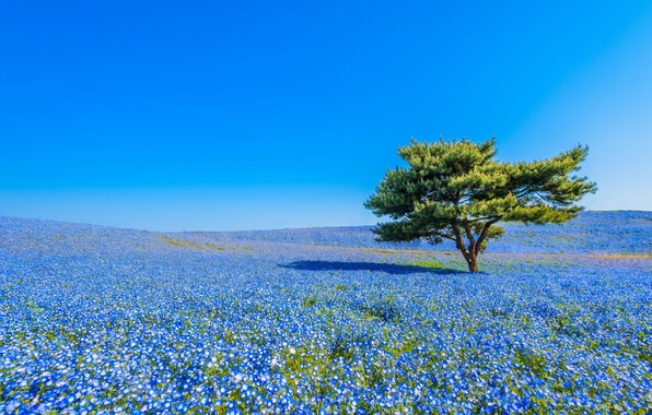 Picture flowers, tree, Japan, meadow, Japan, nemophila, National seaside Park Hitachi, Hitachi Seaside Park, Hitachinaka, Hitachinaka
