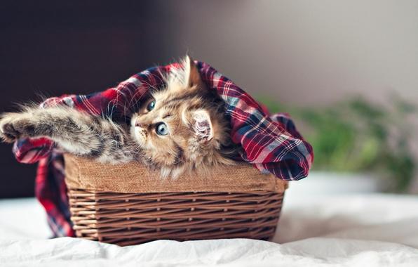 Picture cat, kitten, eyes, cat, kitty, face, basket, paws, Ben Torode