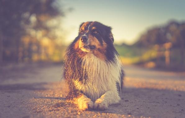 Picture sunset, eyes, dog, sun, sundown, bokeh, sunlight, friend, Australian Shepherd, pov, low pov, soulmate, hund