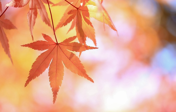Picture leaves, branch, red, Japanese maple