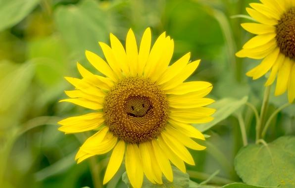 Picture light, smile, sunflower, petals