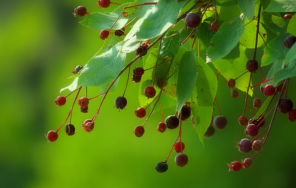 Picture leaves, berries, background, branch, fruit