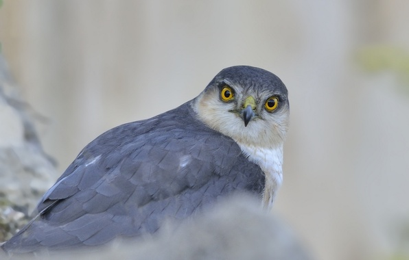 Picture look, grey, background, bird, predator, hawk, Sparrowhawk