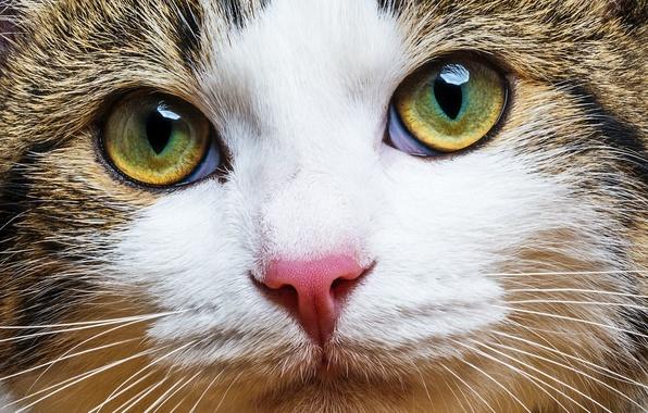 Picture cat, mustache, look, blur, muzzle, color, cat, Tomcat, bokeh, handsome, happy, tri-color, wallpaper.