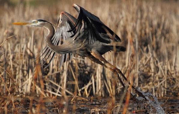 Picture lake, bird, swamp, reed, the rise, Heron