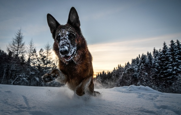 Picture winter, forest, snow, dog, German shepherd